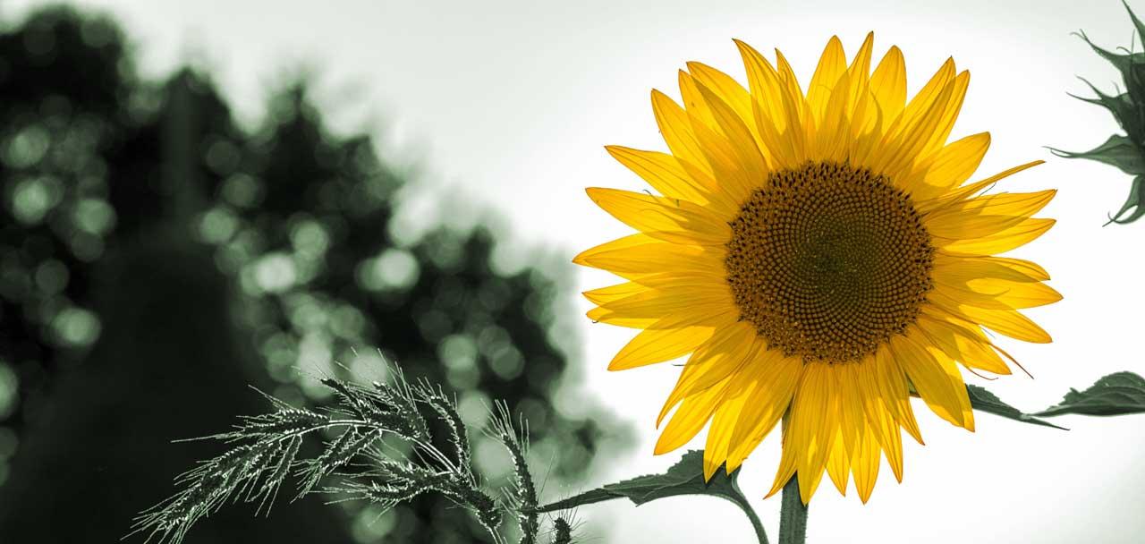 Forward Energie Sonnenblume - für dich, für mich, für unsere Umwelt